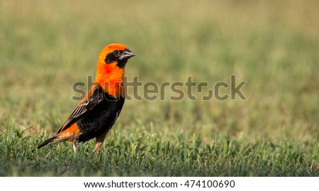 BLACK WINGED RED BISHOP