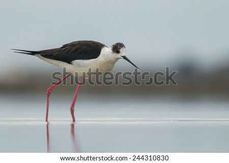 Black-winged Stilt and water - stock photo