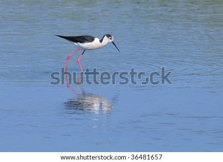 Black-winged Stilt (Himantopus himantopus) hunting for its prey in a marsh environment