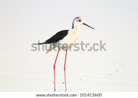 black - winged stilt in the wild wild / Himantopus himantopus - stock photo
