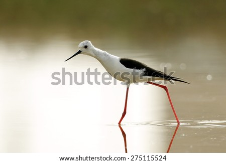 Black-winged Stilt stretching its body and moving
