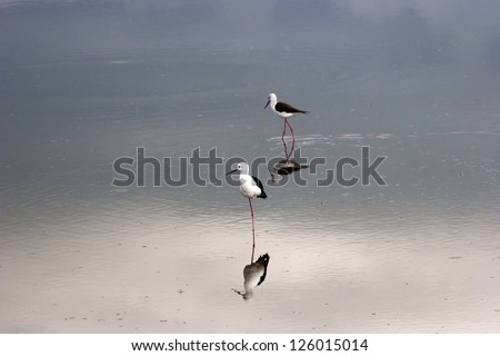 Black Winged Stilt Tanzania Africa on Pond with Reflection - stock photo