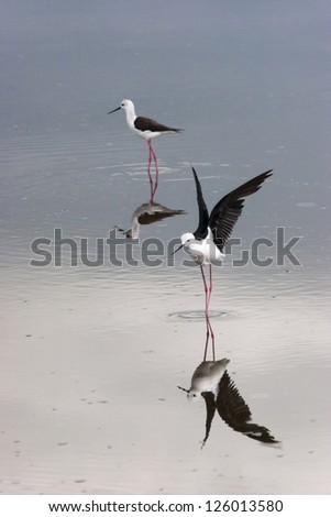 Black Winged Stilt with Reflection in Pond on the Serengeti Tanzania Africa - stock photo