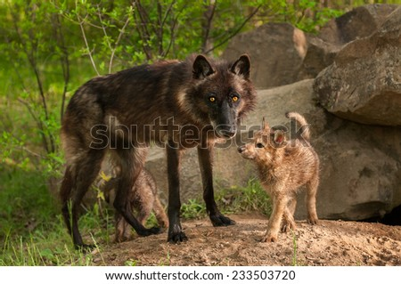 Black Wolf (Canis lupus) and Pups Stand at Den Entrance - captive animals - stock photo