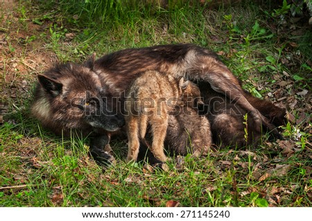Black Wolf (Canis lupus) Feeds Her Pups - captive animals - stock photo