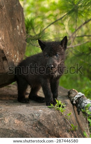 Black Wolf (Canis lupus) Pup Stands Atop Rock - captive animals - stock photo