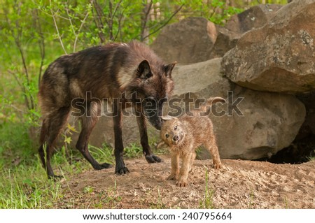 Black Wolf (Canis lupus) Stands by as Pup Shakes Off - captive animals - stock photo