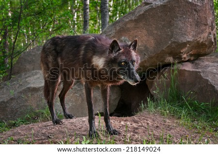 Black Wolf (Canis lupus) Stands in Front of Den Site - captive animal - stock photo