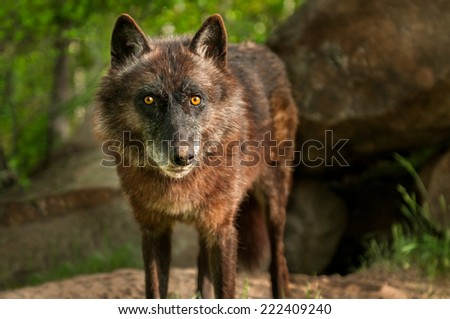 Black Wolf (Canis lupus) Stares Out - captive animal - stock photo