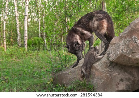 Black Wolf (Canis lupus) Watches Pup Climb up Rock - captive animals - stock photo