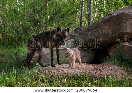 Black Wolf (Canis lupus) Watches While Pup Shakes Off - captive animals - stock photo
