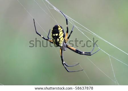 Black & Yellow Garden Spider Argiope aurantia - stock photo