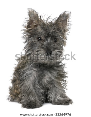 black yorkshire Terrier puppy sitting in front of a white background