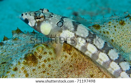 Blackbarred sandperch (Parapercis tetracantha) resting on a sea cucumber. Taken in the Wakatobi, Indonesia