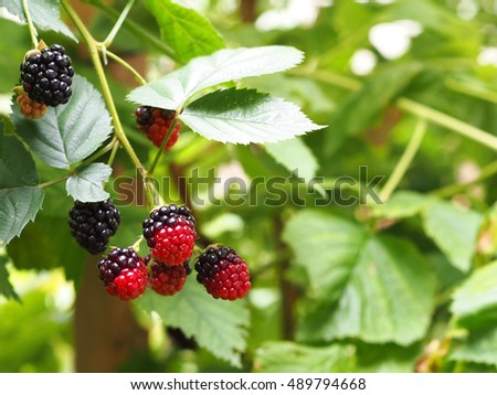 Blackberries growing in garden