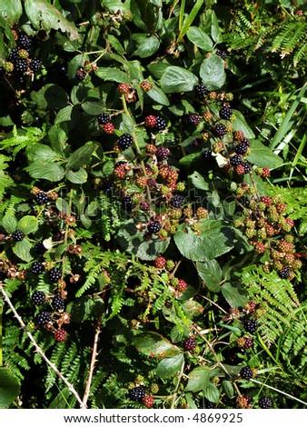 Blackberries in the hedgerow - stock photo