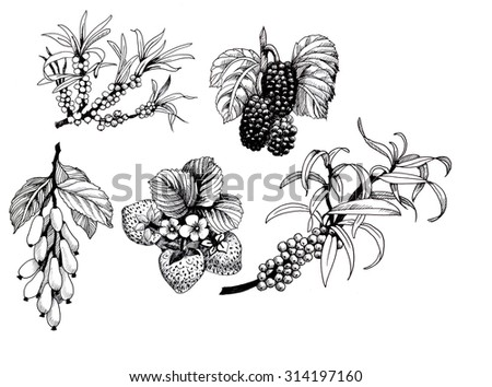 Blackberries, strawberries and dogwood and sea buck-thorn berries, black and white illustration set - stock photo