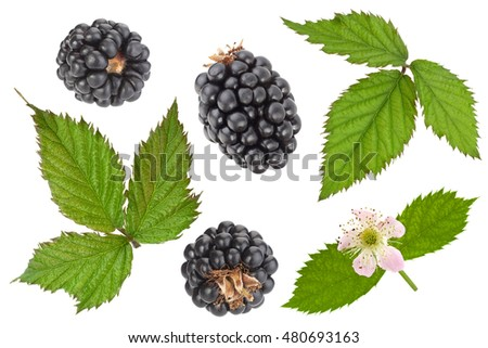Blackberry fruit leaf and flower closeup isolated on white background