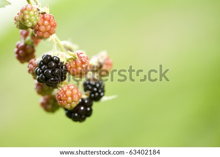 Blackberry fruit on the vine under various stages of development. Backlit at sunset. Defocused green background makes for excellent copy space! - stock photo