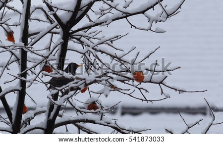 Blackbird and yellow persimmons on the branches, which are covered with white snow