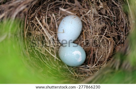 Blackbird eggs - stock photo