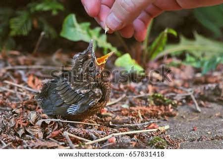 Blackbird fledgling being fed with seeds