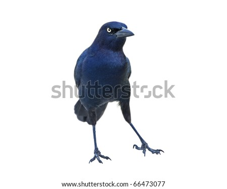 Blackbird - male Boat-tailed Grackleon(Quiscalus major) - in belligerent pose isolated on white background.