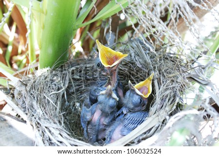 Blackbird nest with hungry baby birds calling for food - stock photo