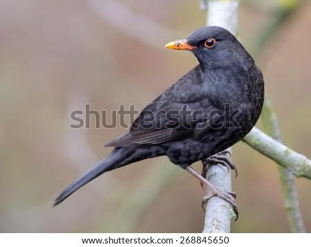 Blackbird on the branch - stock photo