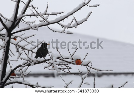 Blackbird on winter branch of persimmon