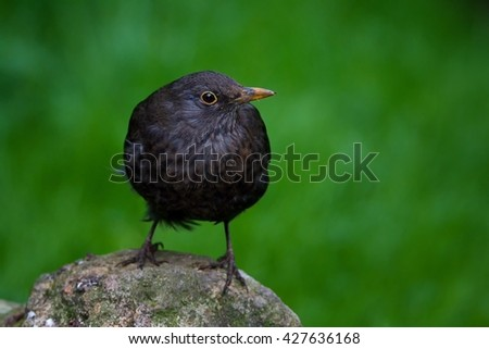 Blackbird (Turdus merula) sitting on sitting on a rock and watches