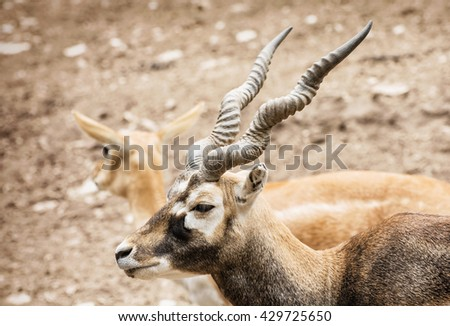 Blackbuck - Antilope cervicapra - is an ungulate species of antelope native to the Indian subcontinent that has been listed as Near Threatened on the IUCN Red List since 2003. Couple of antelope. - stock photo
