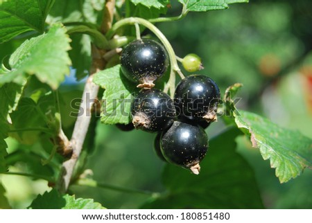Blackcurrant, Omsk region, Siberia, Russia - stock photo