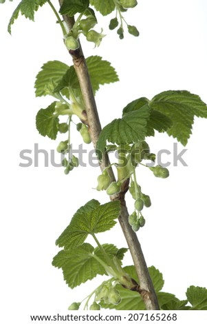 Blackcurrants branches with buds and leaves on a white background - stock photo