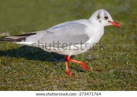 Blackhead gull, Chroicocephalus ridibundus - stock photo