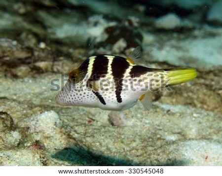 Blacksaddle stock photos royalty free images vectors for Puffer fish sand art