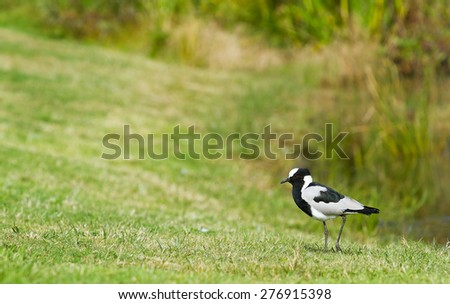 Blacksmith Plover bird walking cautiously up grass embankment into open area with text space on left hand side. - stock photo