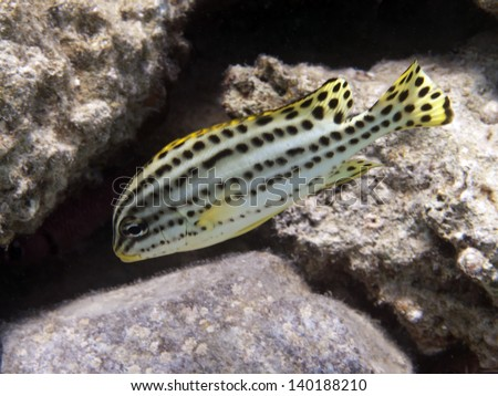 Blackspotted sweetlips in red sea