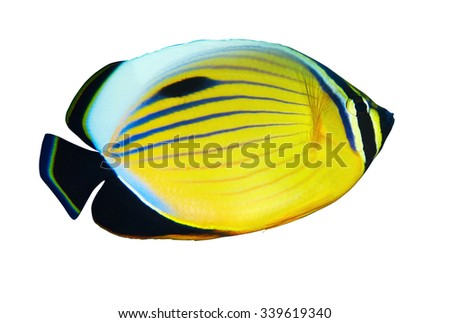 Blacktail Butterflyfish (Chaetodon austriacus) isolated on white background. - stock photo