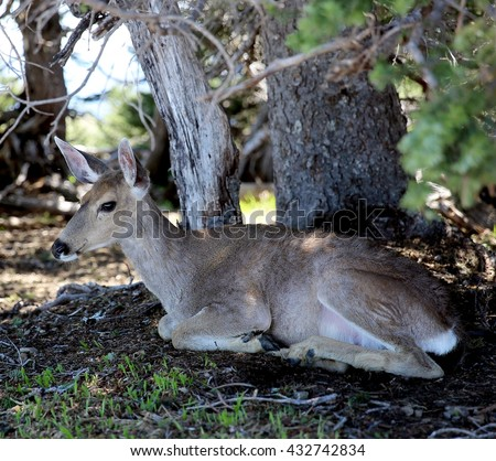 Blacktail deer rests in shade under tree at Hurricane Ridge in Olympic National Park, Washington.