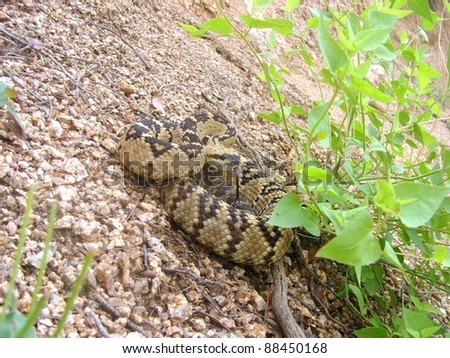 Blacktailed Rattlesnake, Crotalus molossus, hiding in vegetation and coiled in defensive posture - stock photo