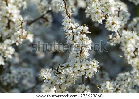 Blackthorn Blossom - stock photo