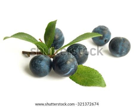 Blackthorn (Prunus spinosa) - stock photo