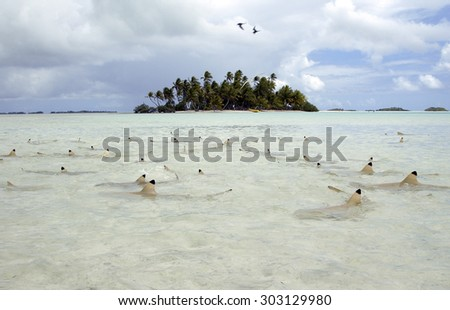 BLACKTIP REEF SHARK SWIMMING IN SURFACE CLOSE TO THE BEACH - stock photo