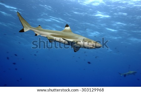 BLACKTIP REEF SHARK SWIMMING IN THE TAHITIAN CLEAR WATER - stock photo
