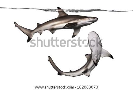 Blacktip reef shark viewed from below, Carcharhinus melanopterus, isolated on white - stock photo
