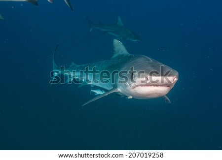 Blacktip shark swimming towards the camera, with tiger shark in the background - stock photo