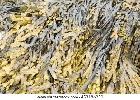 Bladder wrack growing on a rock - stock photo