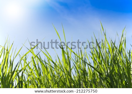 Blades of fresh green grass against clean blue sky. Perspective view. - stock photo