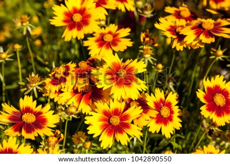 Blanket Flower Yellow Daisy With Red Center Called Gaillardia Pulchella  Blooms In A Garden In Naples